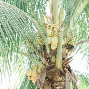 mariage de rêve à destination palmier noix de coco caraïbes grand bahia principe jamaïque photo 6452 300x300 - Galerie à destination